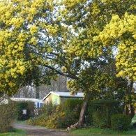 mimosa en fleur - Camping Les Parcs