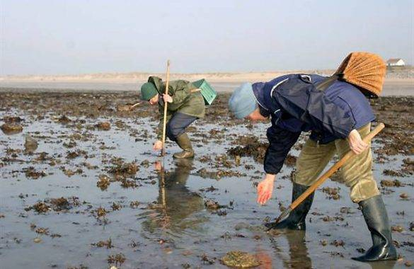 ramassage des coques sur le littoral - Camping Les Parcs
